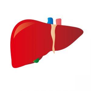 健康な肝臓